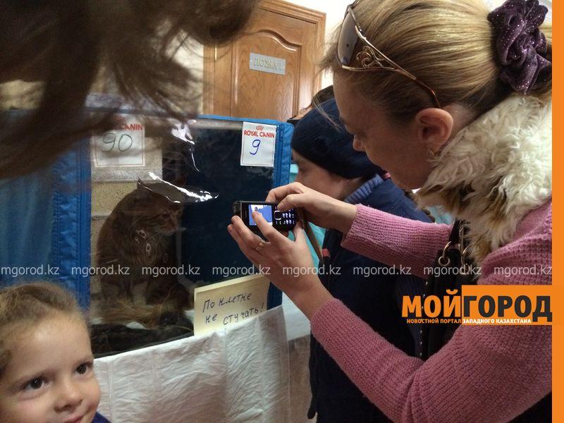 Новости Уральск - Бурманских кошек впервые привезли на выставку в Уральск koshki (13)