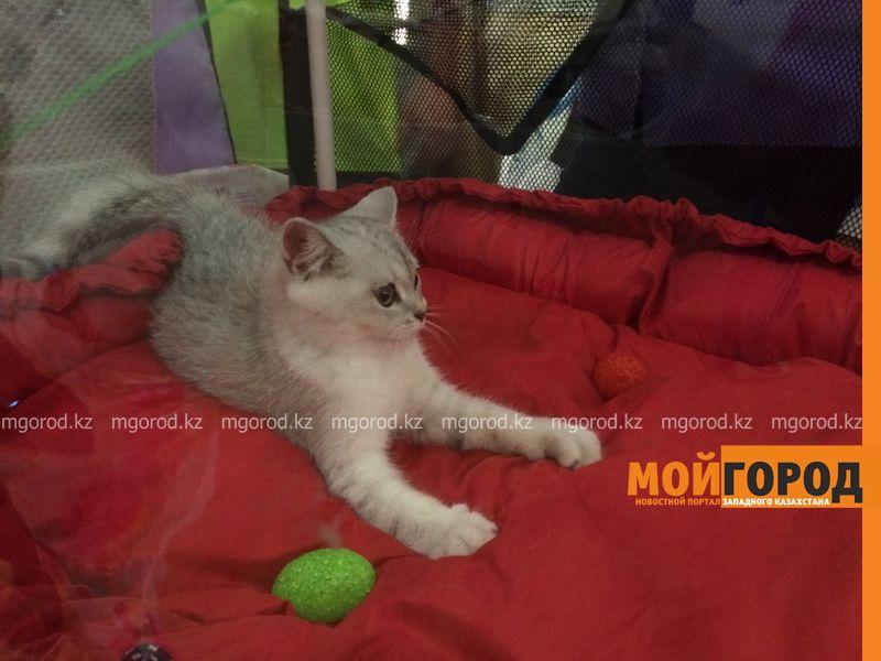 Новости Уральск - Бурманских кошек впервые привезли на выставку в Уральск koshki (14)