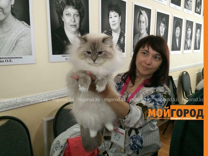 Новости Уральск - Бурманских кошек впервые привезли на выставку в Уральск koshki (15)