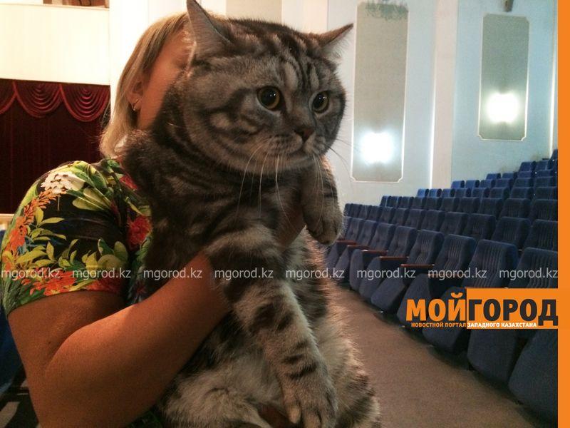 Новости Уральск - Бурманских кошек впервые привезли на выставку в Уральск koshki (17)