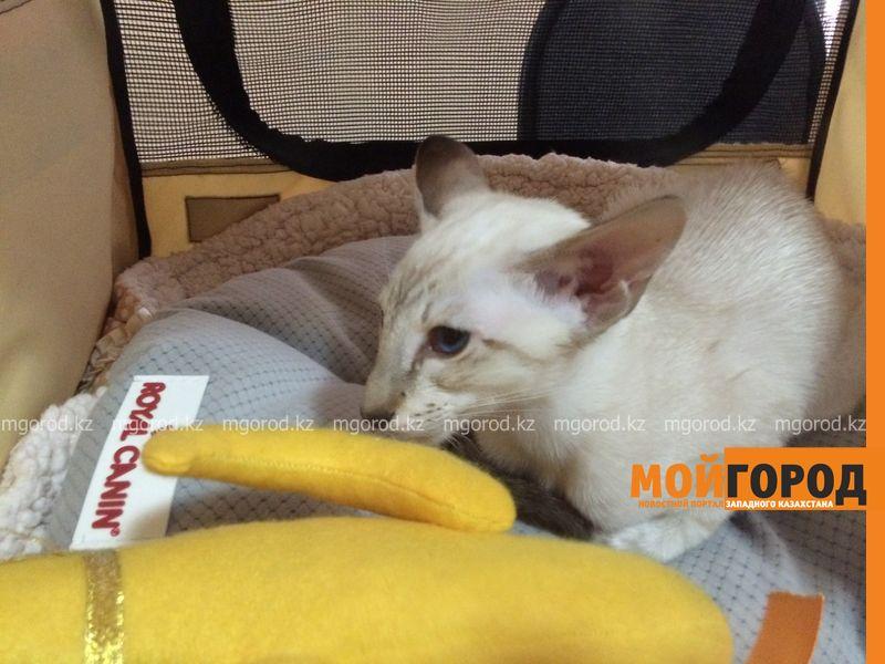 Новости Уральск - Бурманских кошек впервые привезли на выставку в Уральск koshki (8)