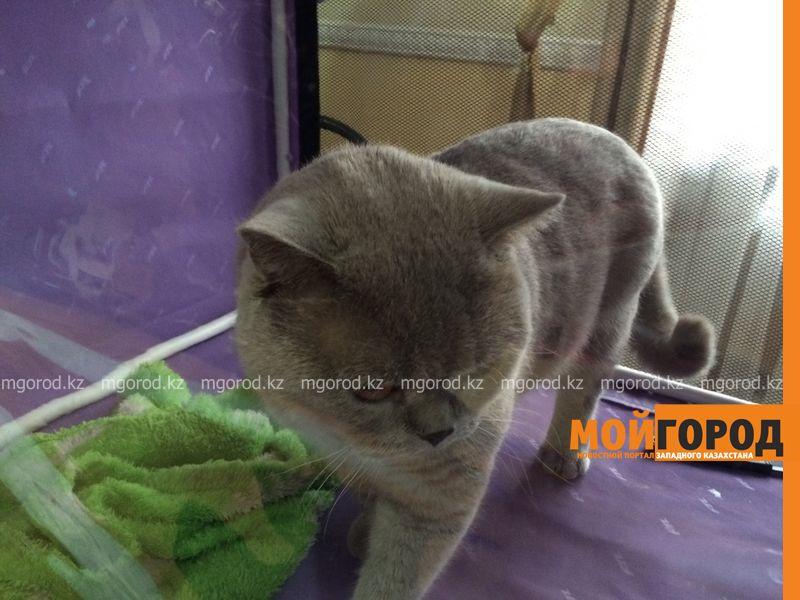Новости Уральск - Бурманских кошек впервые привезли на выставку в Уральск koshki (9)