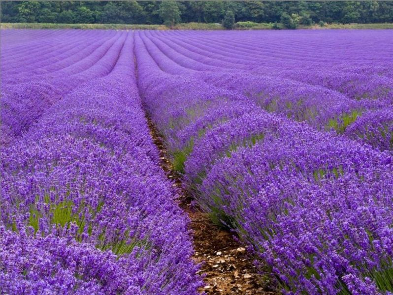 lavender-fields19.jpg