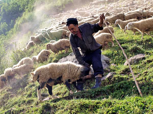 Новости Атырау - В Атырауской области пастух за алкоголь и сигареты расплачивался баранами хозяина full_Odinmillionyagnyat