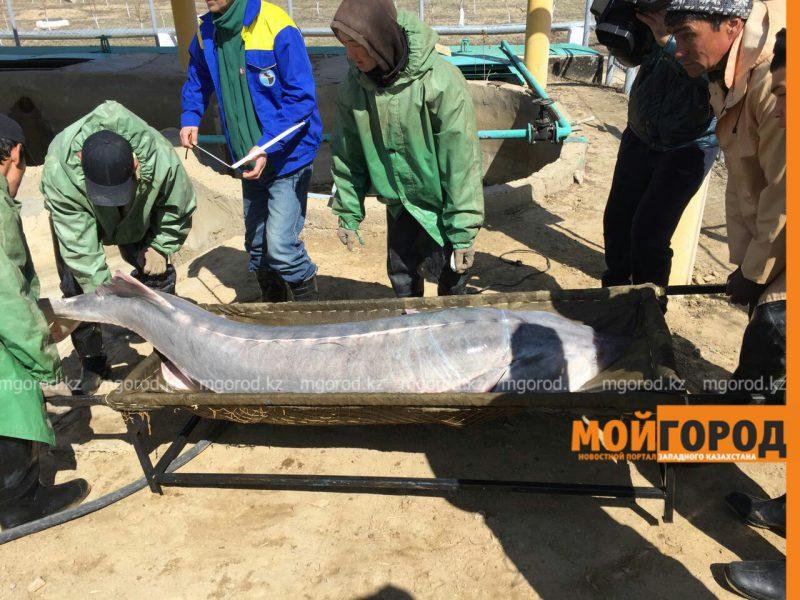 Новости Атырау - В Атырау поймали гигантскую белугу весом в 160 кг (ВИДЕО) PicsArt_04-02-01.53.56