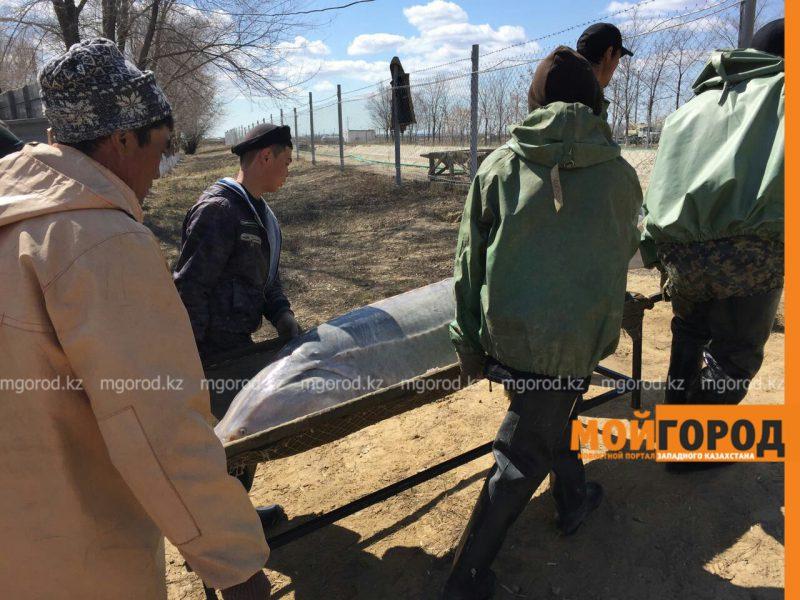 Новости Атырау - В Атырау поймали гигантскую белугу весом в 160 кг (ВИДЕО) PicsArt_04-02-01.54.49