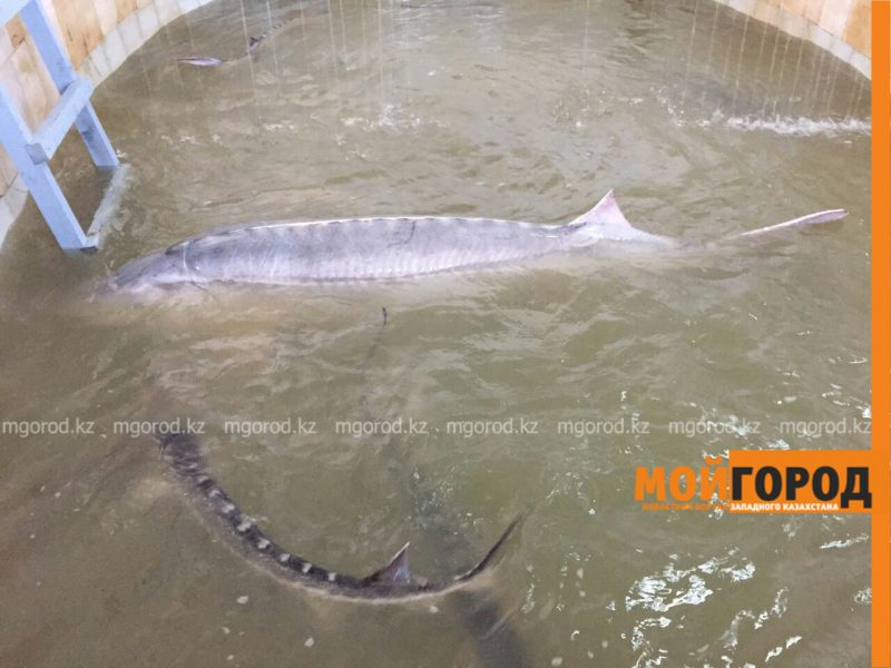 Новости Атырау - В Атырау поймали гигантскую белугу весом в 160 кг (ВИДЕО) PicsArt_04-02-01.56.13
