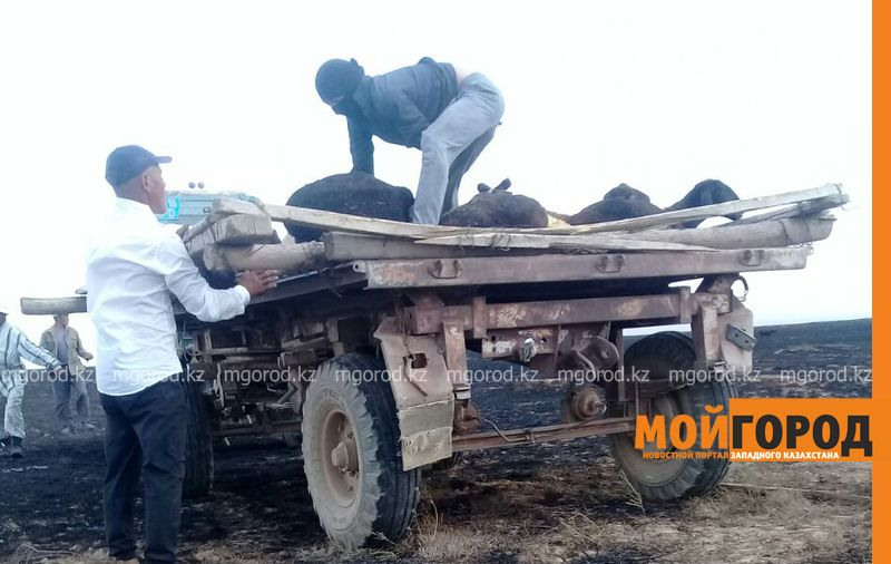 200 голов скота заживо сгорело в пожаре в ЗКО barany sgoreli (1)