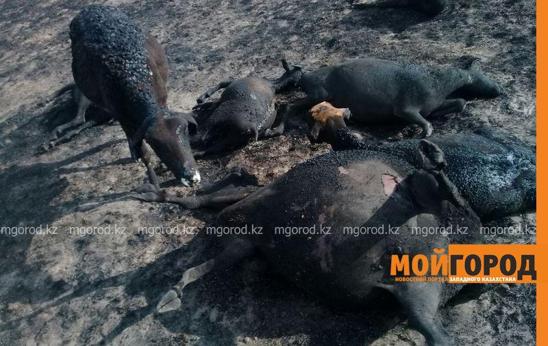 200 голов скота заживо сгорело в пожаре в ЗКО barany sgoreli (2)