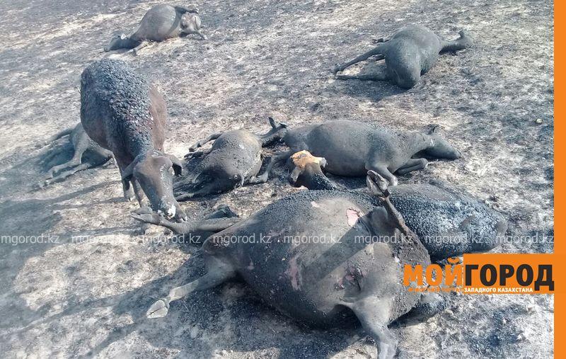 200 голов скота заживо сгорело в пожаре в ЗКО barany sgoreli (3)