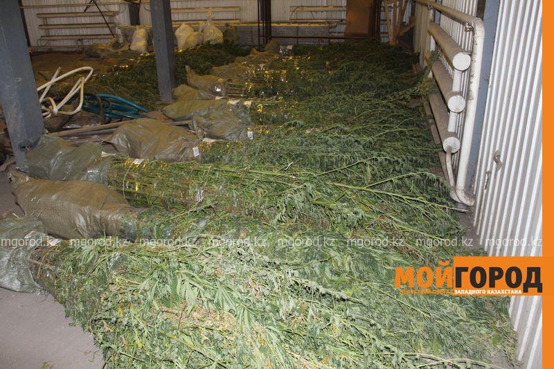 Полторы тонны конопли уничтожили сотрудники КНБ в Актюбинской области