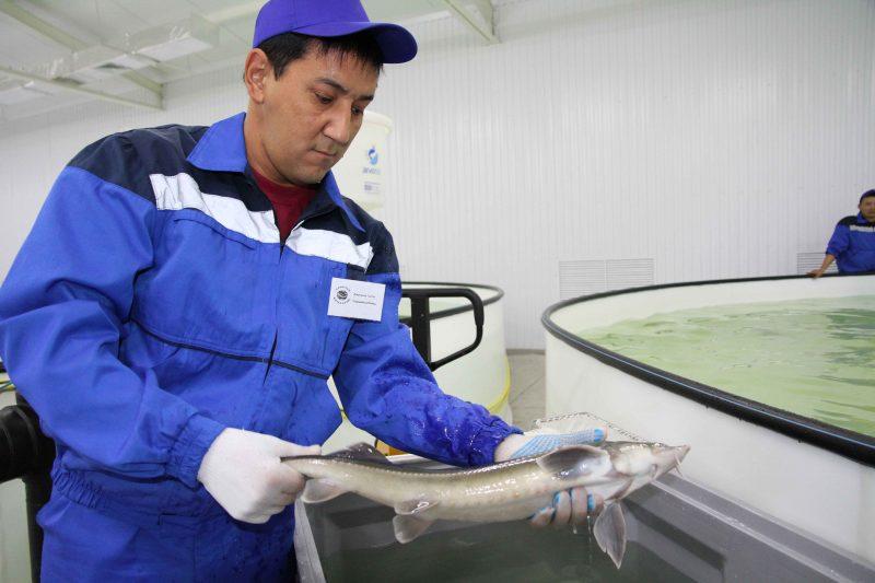 Новости Атырау - В Казахстане рыбоводы получат субсидии от государства рыба Каспиан Роял Фиш (открытие) 2