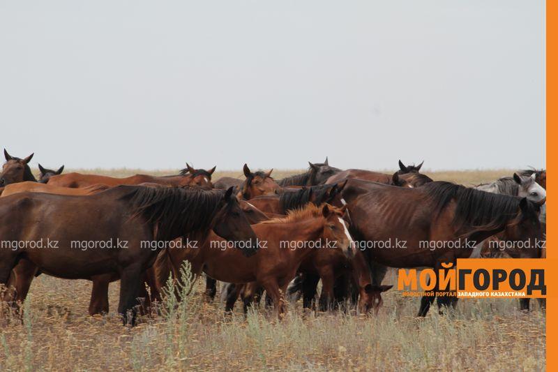Новости Уральск - Предприниматели ЗКО разводят племенных животных zelenovskii raion (23)