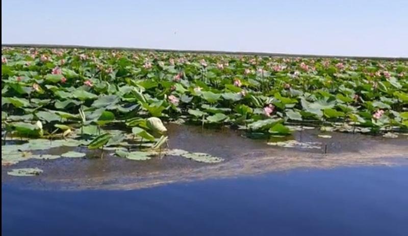 Новости Атырау - В Атырауской области из-за жары рано расцвел лотос (Видео) Скриншот с видео