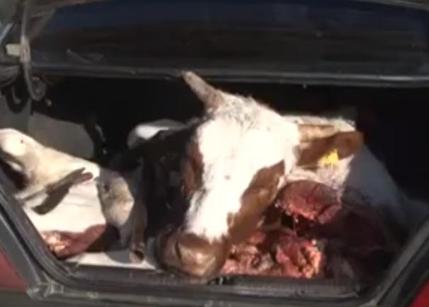 Новости Атырау - Граждане Узбекистана задержаны за кражу скота в Атырауской области (видео)