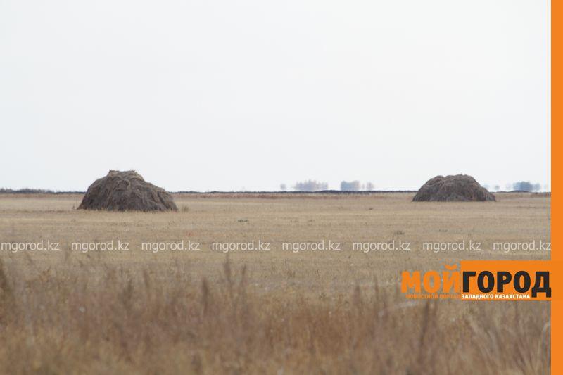 Новости Уральск - Кормовые виды трав сеют в ЗКО для животноводства