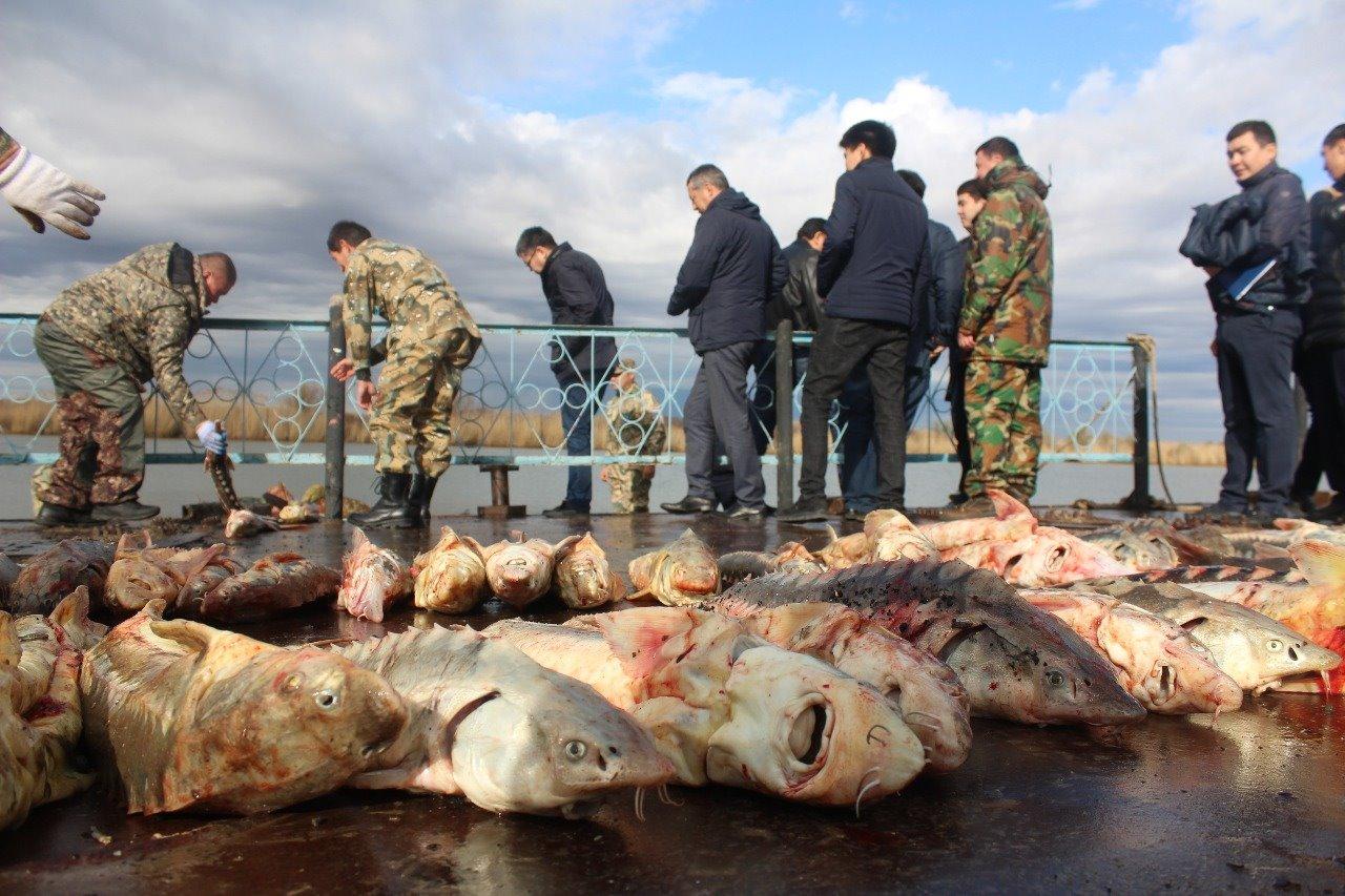 Новости Атырау - До 5 лет лишения свободы грозит браконьерам, задержанным с тонной осетров в Атырау