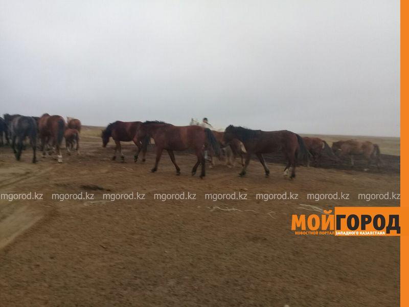 Новости Актобе - Актюбинские полицейские по горячим следам раскрыли 12 краж скота