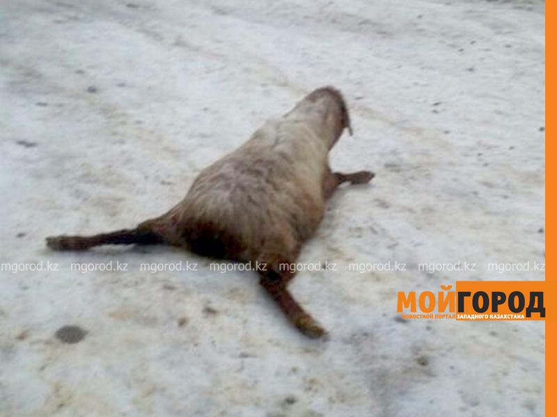 Новости Актау - В Мангистауской области из-за обледеневшей дороги падает домашний скот (видео)