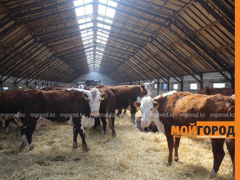 Новости Уральск - Откормплощадки на 30 тысяч голов скота строят в ЗКО