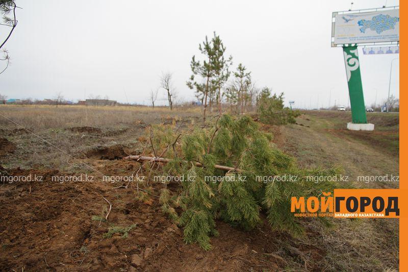 Новости Уральск - Жители Уральска пожаловались на сваленные вдоль дороги сосны