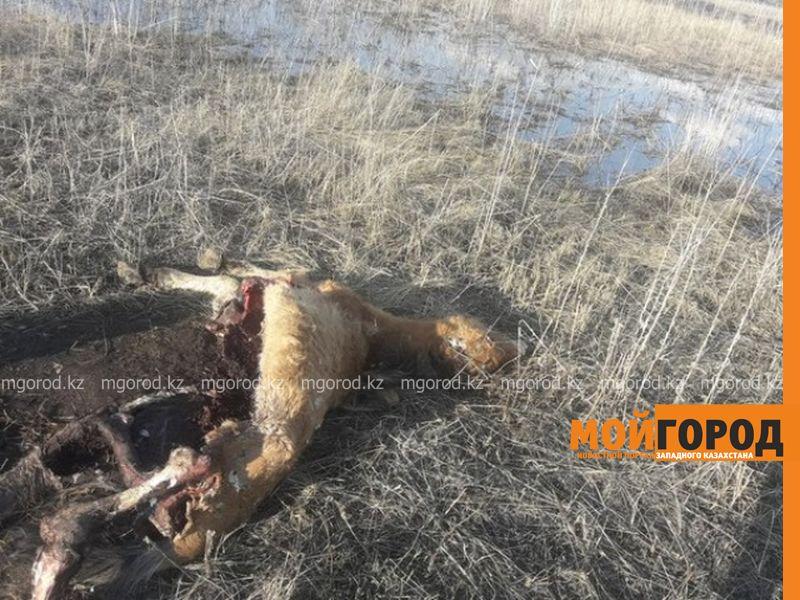 Новости Уральск - Туши мертвых животных лежат у водоема в ЗКО