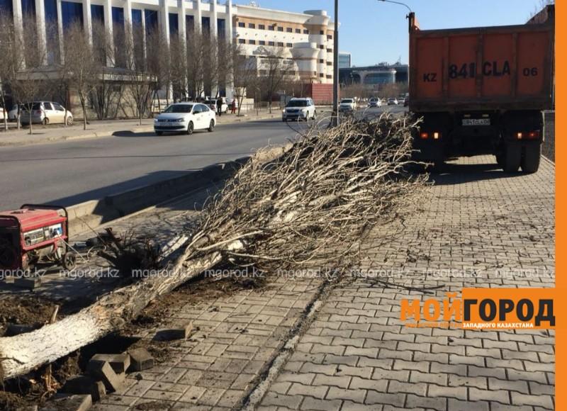 Новости Атырау - В центре Атырау вдоль дороги рабочие выкорчевывают деревья
