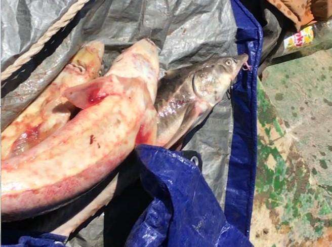 Новости Атырау - В Атырау двое браконьеров задержаны с партией осетрины