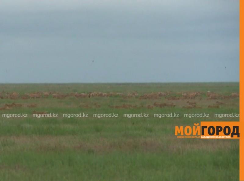 500 голов сайги обнаружено на территории Атырауской области (видео)