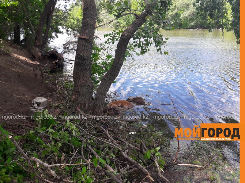 Новости Уральск - Жителей ЗКО возмутила туша коровы, плавающая в реке