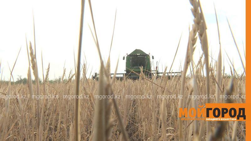 Новости Уральск - В ЗКО собрали 47 тысяч тонн озимой пшеницы
