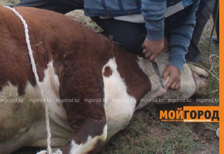 В районе ЗКО увеличилось количество скотокрадств