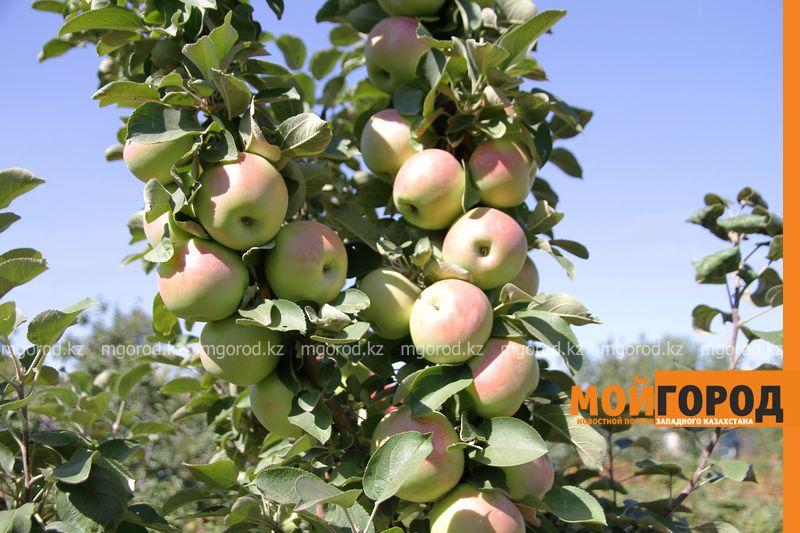 150 сортов яблони и 120 сортов винограда высадил уральский селекционер (фото)