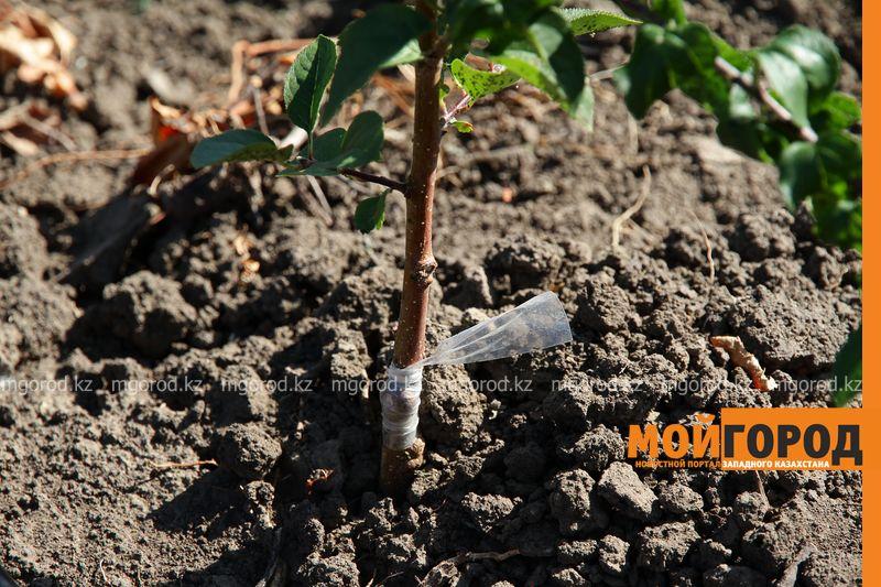 Новости Уральск - 150 сортов яблони и 120 сортов винограда высадил уральский селекционер (фото)