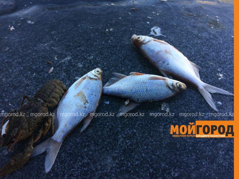 Новости Уральск - Уголовное дело возбудили по факту массового замора рыбы в ЗКО (фото, видео)