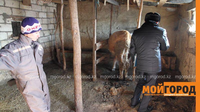Пятеро жителей ЗКО задержаны за воровство скота у односельчан Сельчанин, у которого украли скот, жалуется на бездействие полиции