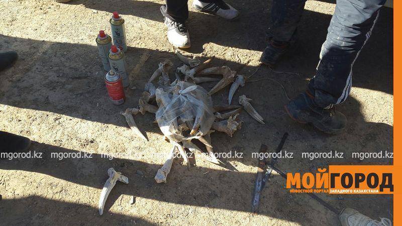 """В ЗКО сотрудник """"Охотзоопрома"""" передавал местонахождение сайгаков браконьерам"""