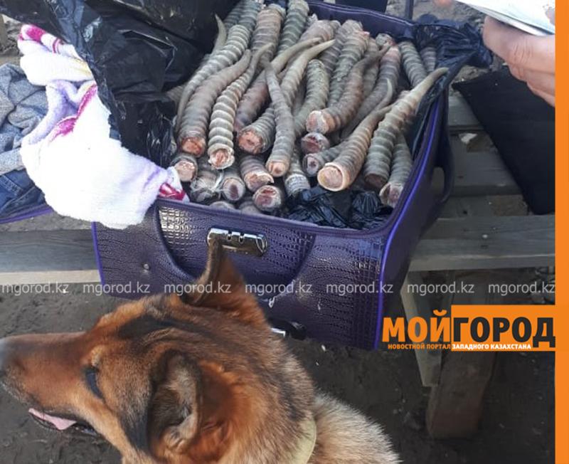 Новости Уральск - Сайгачьи рога на 200 млн тенге вез гражданин Узбекистана в Россию