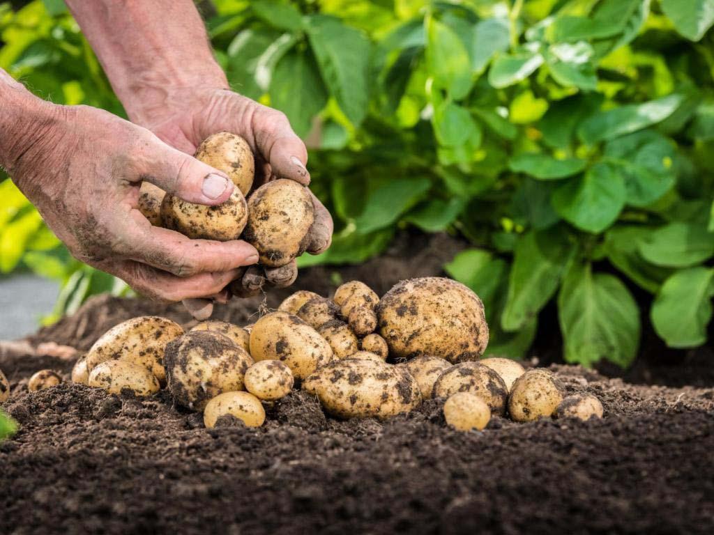 Новости Актау - Секреты большого урожая картошки. Соседи мне завидуют