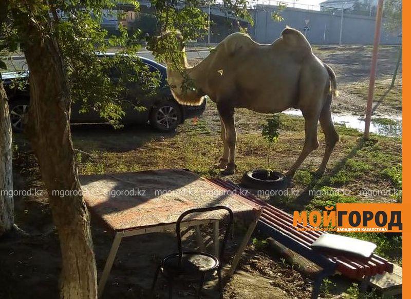 Новости Атырау - Жители Атырау пожаловались полицейским на бродячий скот на автодорогах