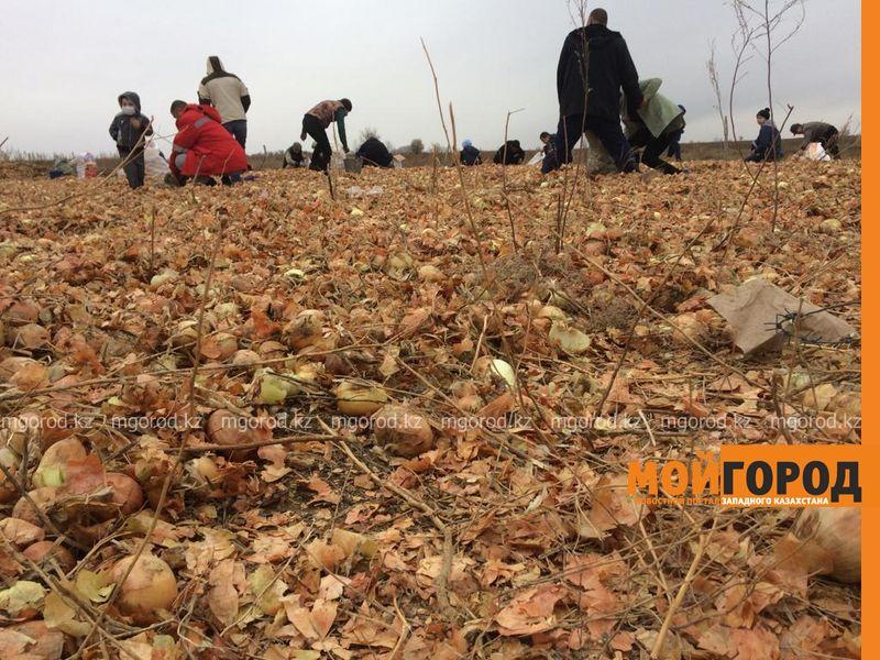 Жители ЗКО мешками вывозят высыпанный в степи лук (фото, видео)