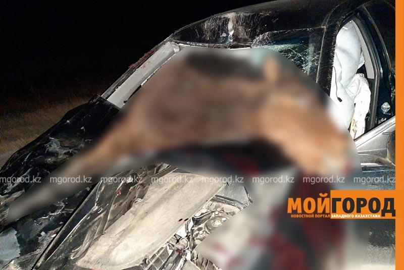 Toyota Camry сбила лошадей на трассе в ЗКО