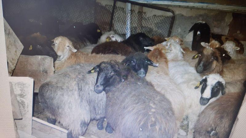 Жители Актюбинской области задержаны во время забоя угнанного скота