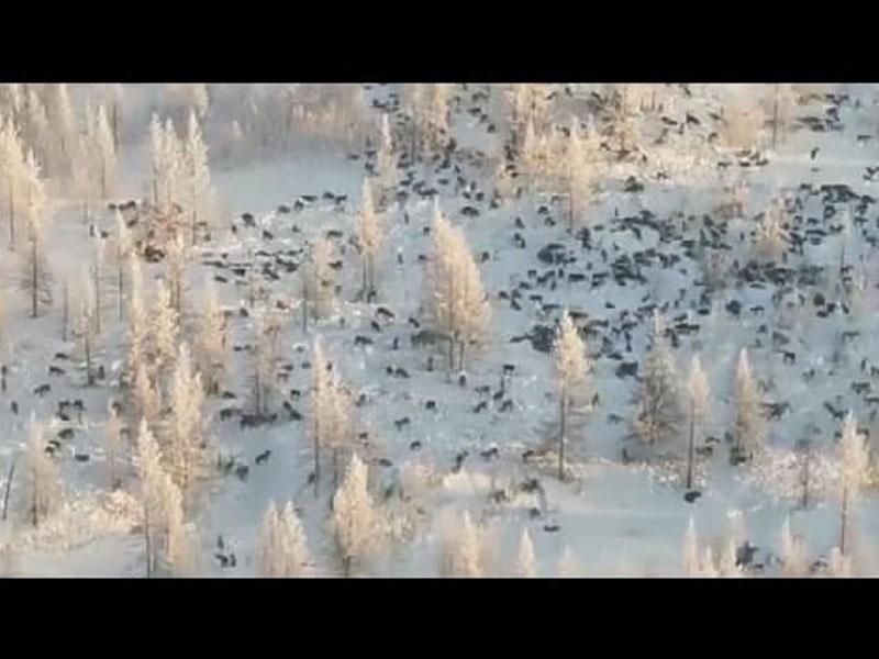 В погранслужбе прокомментировали видео со стаей волков, идущей со стороны России в ЗКО