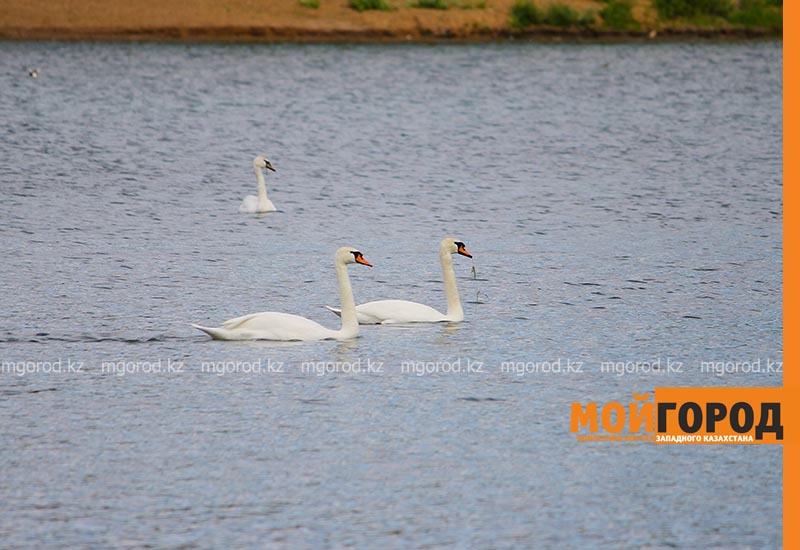 В Уральск прилетели лебеди (фото) В Уральск прилетели лебеди (фото)