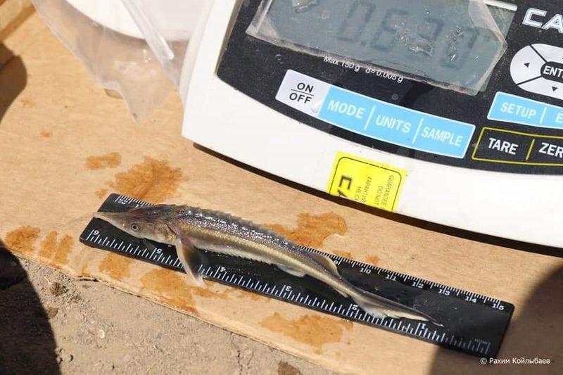 1,24 млн молоди осетровых рыб выпустили в Урал 1,24 млн молоди осетровых рыб выпустили в реку Жайык