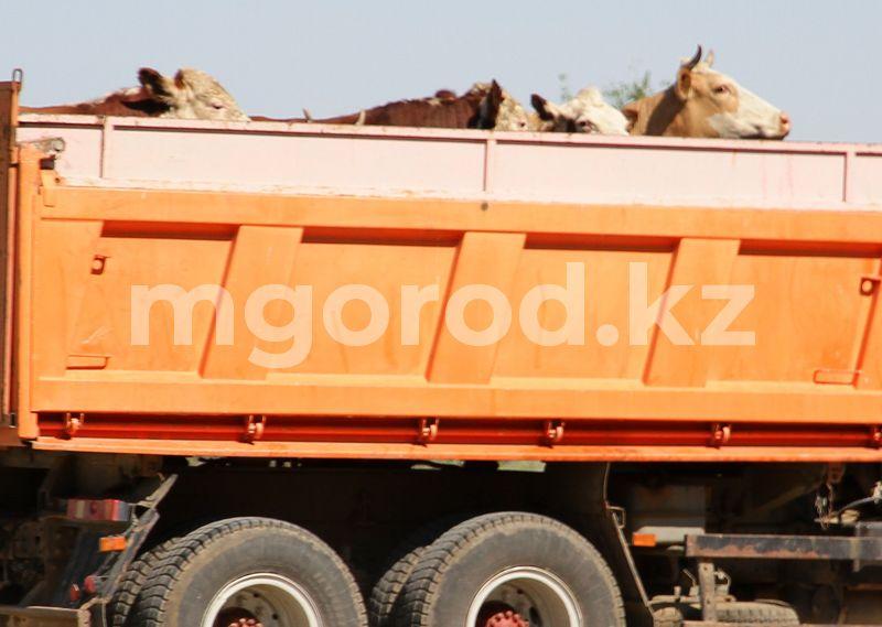 Перевозивший скот из ЗКО мужчина найден в Атырауской области Перевозивший скот из ЗКО мужчина найден в Атырауской области