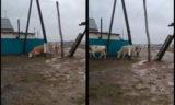 Сельчане сняли на видео, как коров бьет током в пригороде Уральска