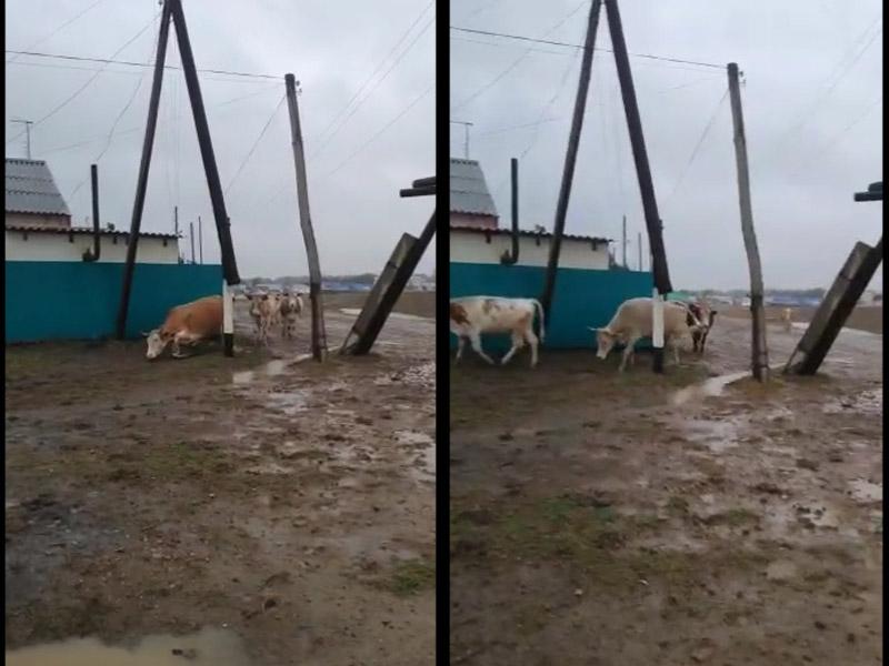 Сельчане сняли на видео, как коров бьет током в пригороде Уральска Коров, бьющих током сняли на видео в Уральске