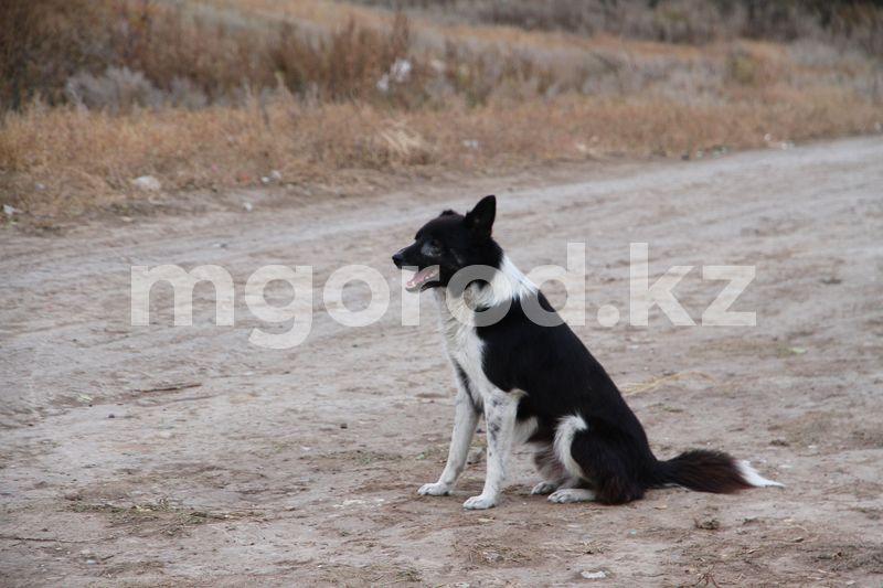 В Атырау двухлетнего мальчика покусала собака В Уральске некому отлавливать бродячих животных